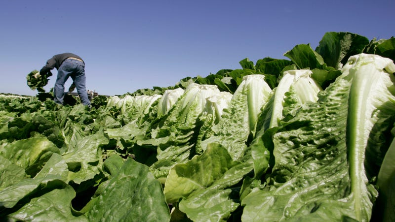 A worker harvests romaine lettuce in Salinas, Calif. Leafy green vegetables are among the lead cause of a recent E. Coli outbreak in the United States.