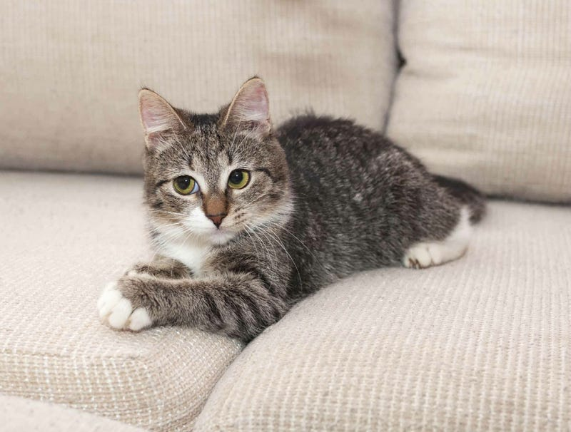 Illustration for article titled Cat That Spends Life On One Of Two Couch Cushions Given Rabies Vaccine