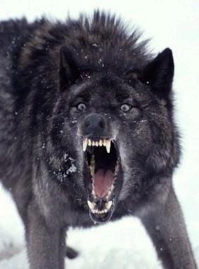 Illustration for article titled Man-Eating Super Wolves