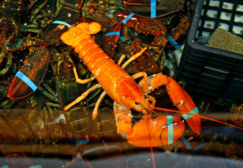 "Illustration for article titled Meet Captain Eli, the ""One-in-Several-Million"" Neon Orange Lobster"