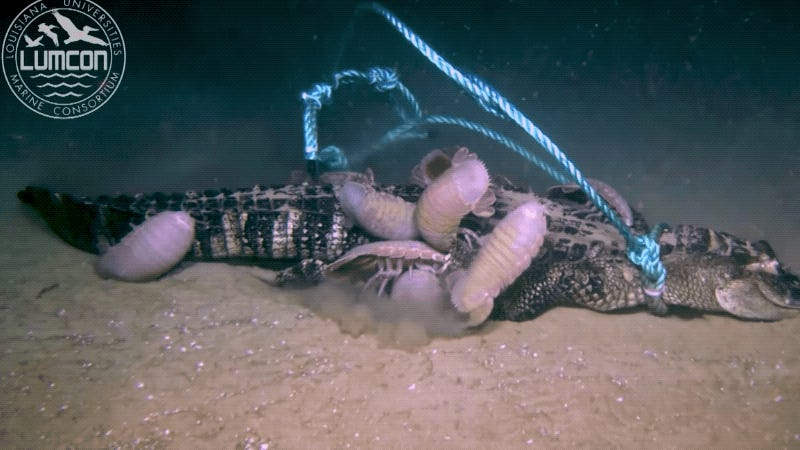 Unsettling Video Shows What Happens to a Dead Alligator at the Bottom of the Sea