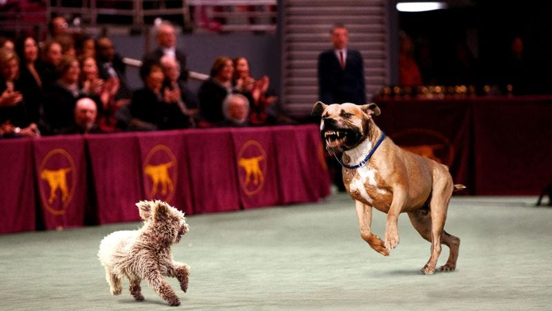 Nitro Expected To Win Westminster Dog Fight