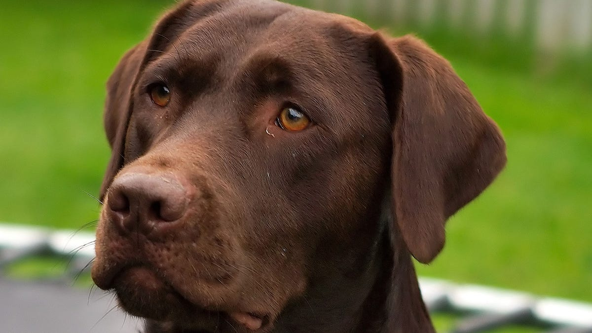 Purebred Chocolate Labrador Retriever