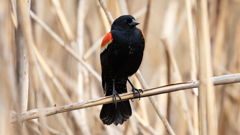 A red-winged blackbird showing off its red wings.