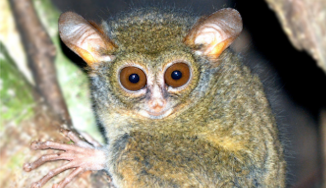 Adorable New Tarsiers Look Like Stoned Yoda