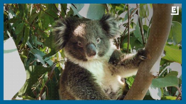 Australia s Wildlife Just Can t Catch a Break
