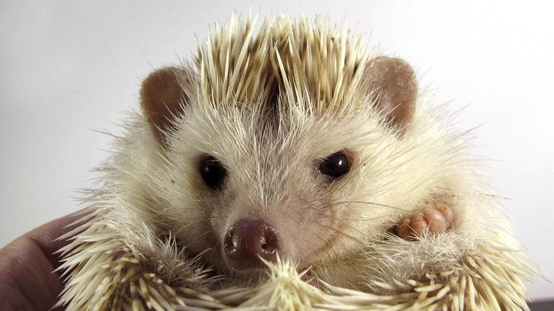 Illustration for article titled Is It Just Us, Or Does This Hedgehog Look Like He's Planning A Terrorist Attack?