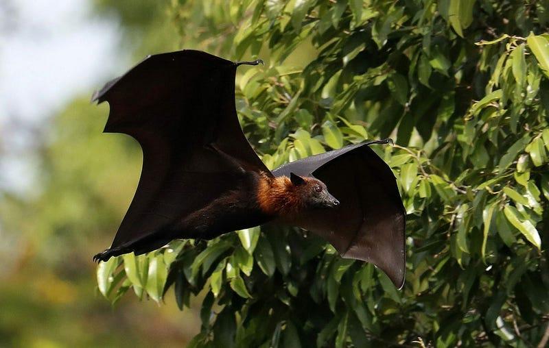 Illustration for article titled Este vídeo de un murciélago nadando es la información inútil del día que no sabías que necesitabas