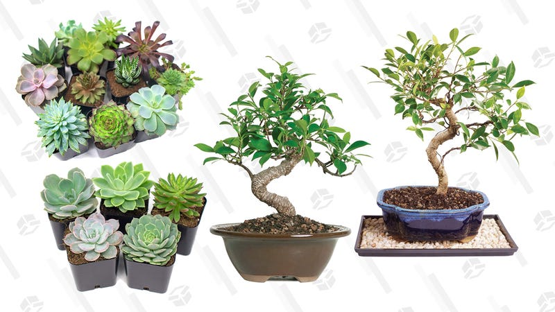 Mother's Day Succulents & Bonsai Trees Gold Box | Amazon