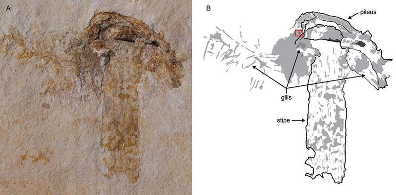 El fósil preservado de la seta más antigua del planeta. Imagen:  Jared Thomas/Danielle Ruffatto