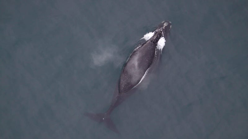 A right whale in the southeastern Bering Sea.