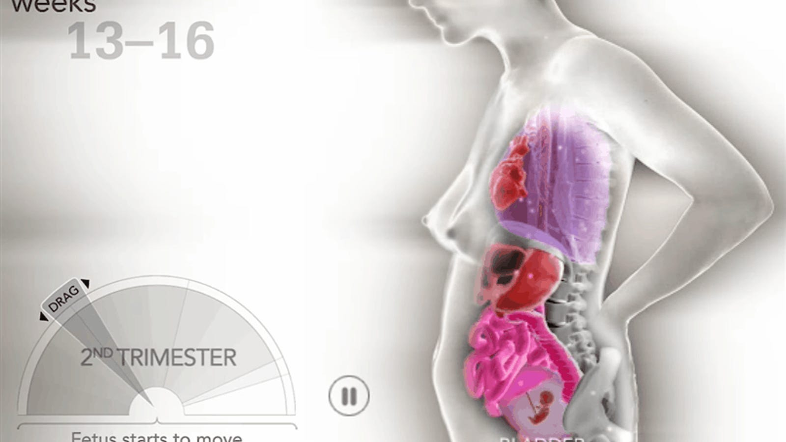 Así cambian y se mueven los órganos durante el embarazo, semana a semana