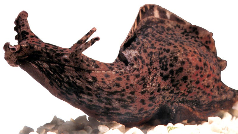 A sea slug, like the one used for this research.