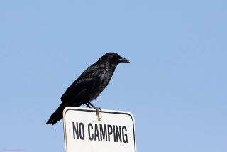 Illustration for article titled Stop Picking On Crows: Study Reveals the Birds Aren't Evil Predators