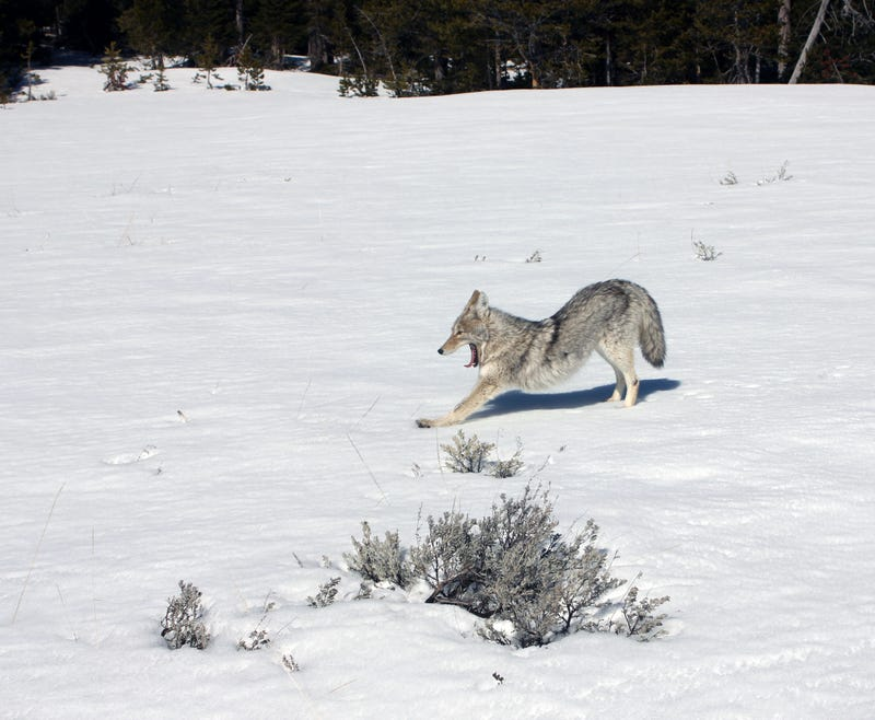 Illustration for article titled Yellowstone Coyote Demonstrates Flawless Downward Dog Technique