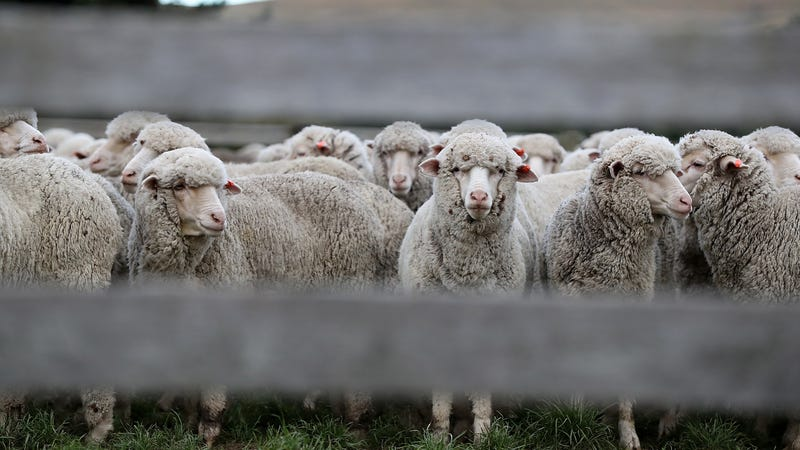 Illustration for article titled 60,000 sheep hanging out in Australian feed lot after feds revoked baaaad exporter's license