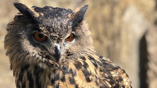 Gladys, the 'Largest Owl You've Ever Seen,' Is on the Loose in Minnesota