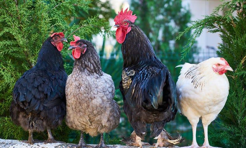 Illustration for article titled Si creías que las palomas son molestas, imagina vivir en una isla infestada de pollos salvajes