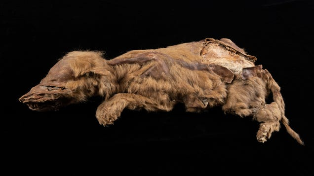 Canadian Gold Miner Finds 57,000-Year-Old Wolf Pup Still Covered in Fur