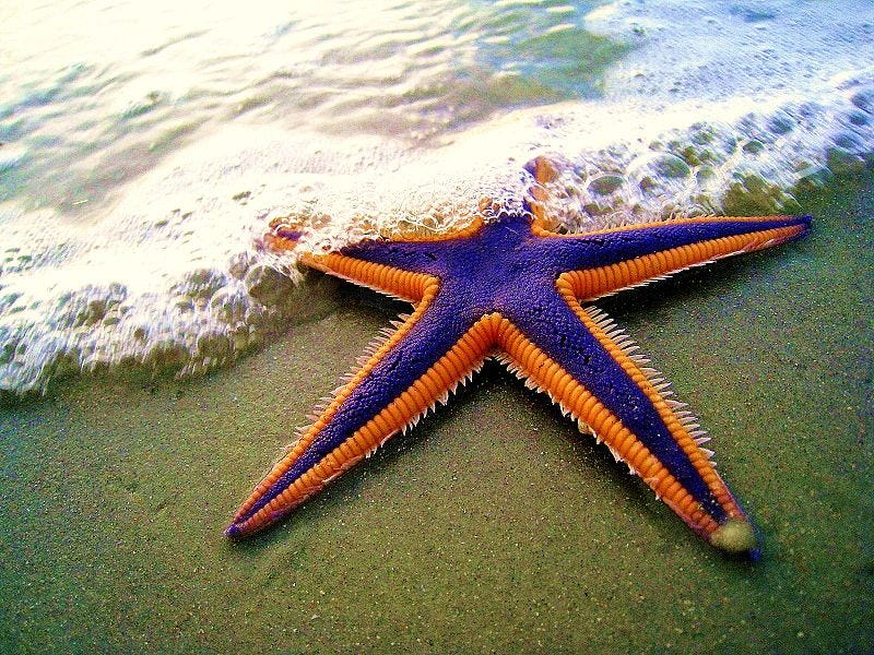 Illustration for article titled Why Are All the Sea Stars Dying?