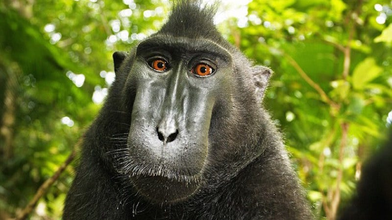 Illustration for article titled Selfie-Loving Monkey Has Second Chance to Sue for Copyright Infringement