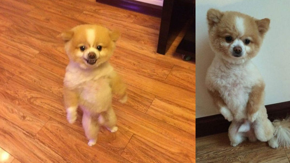 Dog Walks On Hind Legs For Two Days After New Haircut Pisses Him Off