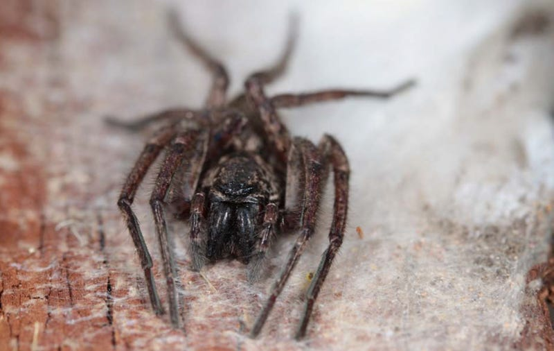 Good News, Ghost Spiders Can Fly | Gizmodo UK