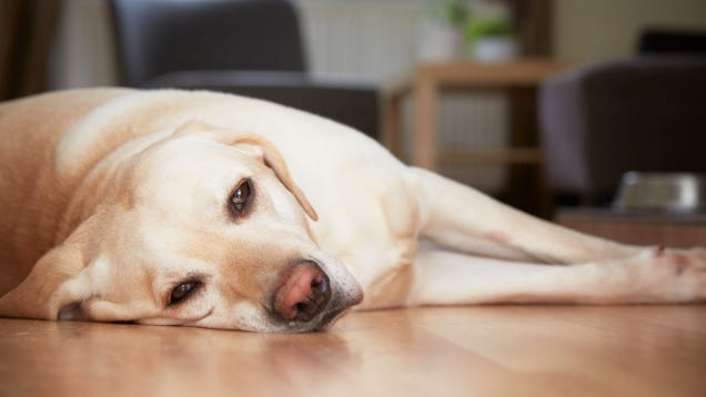 Dog Can't Believe Owner Left On Fucking MSNBC To Keep It Company While She At Work