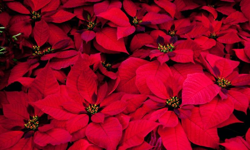 Aspecto de las flores de pascua: Foto: Tony Hisgett / Flickr