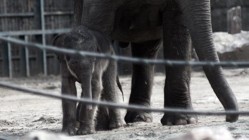 Illustration for article titled Cukiságtúladagolás: rengeteg klassz kép az újszülött kiselefántról