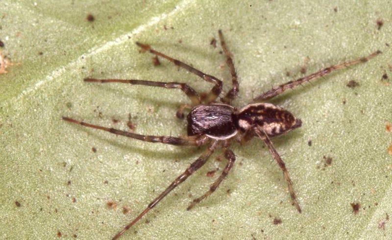Illustration for article titled Hay tantas arañas en el mundo que solo necesitarían un año para comerse a todos los humanos