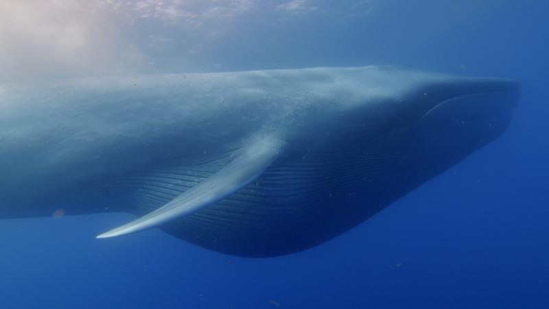 Hay tanto ruido en el océano que las ballenas están aprendiendo a comunicarse en una frecuencia distinta