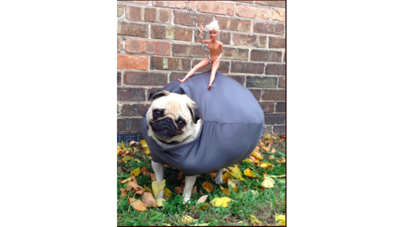 Illustration for article titled A Pug Dressed as a Wrecking Ball Might Win $25,000 in Costume Contest