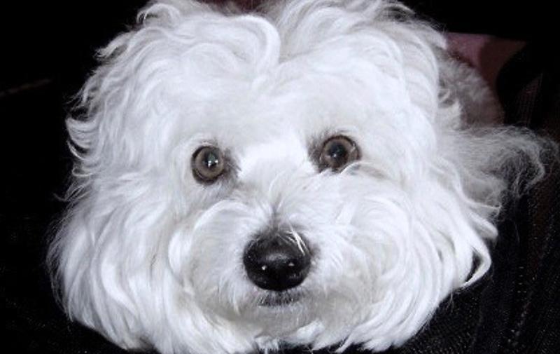 Barbra Streisand reconoce que clonó a su perro favorito, dos de los que tiene ahora son clones
