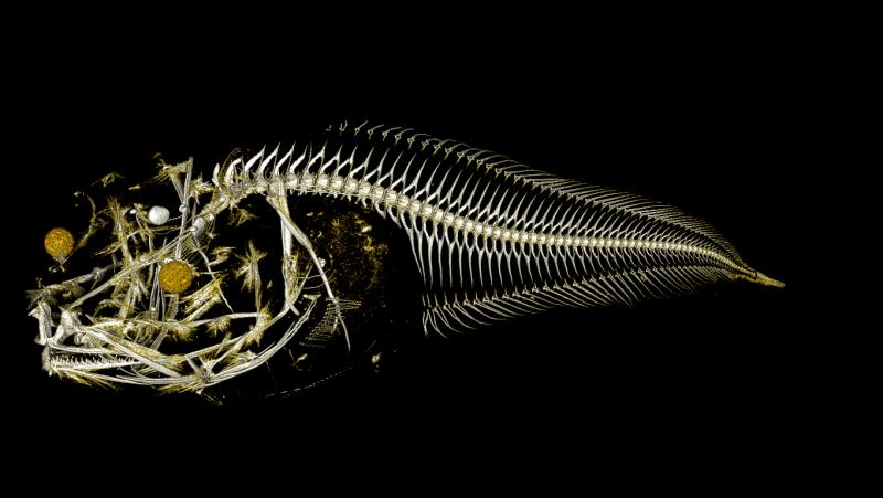 Una tomografía de un espécimen de pez baboso capturado durante una expedición a la fosa de Atacama.