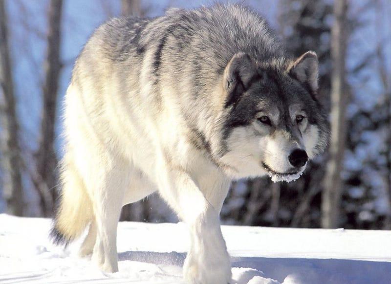 Illustration for article titled Los lobos han vuelto a Alemania de manera espectacular gracias a un factor inesperado: las bases militares