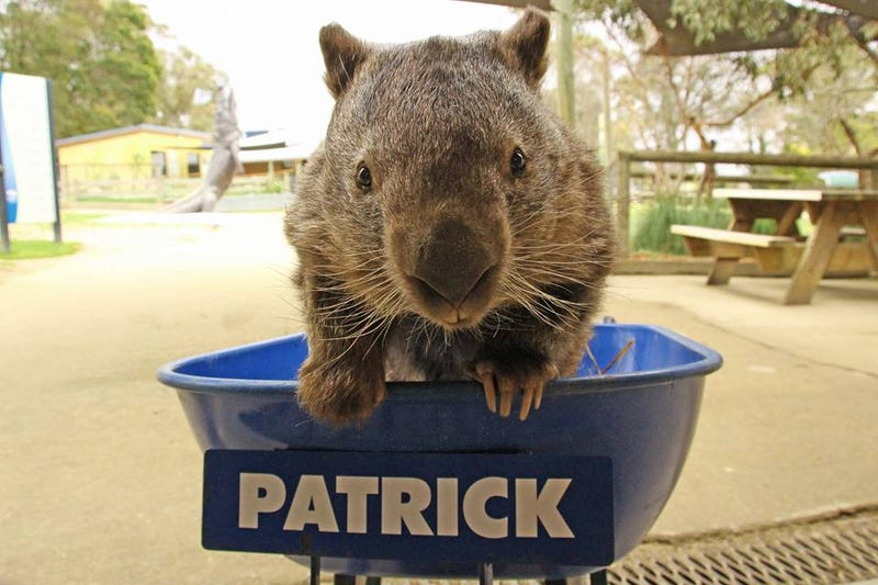 Internet-famous Patrick the wombat at the Ballarat Wildlife Park in Victoria, Australia (Facebook/Ballarat Wildlife Park)