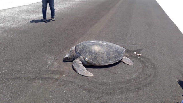 Turtle Returns to Beach to Lay Eggs, But Garbage Humans Have Paved it Over With a Runway