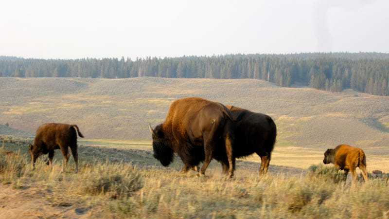 Photo by Wikipedia user Beatlesnature https://commons.wikimedia.org/wiki/File:Bison_in_Yellowstone.JPG