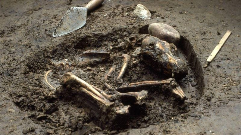 The skeletal remains of the Stillwell II dog.