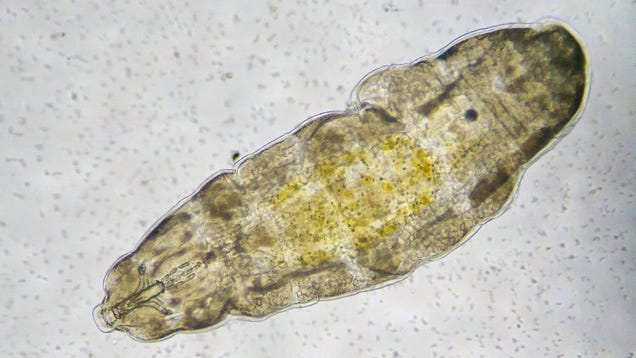 Scientists Shot Tardigrades From a Gun to Test a Theory About Aliens