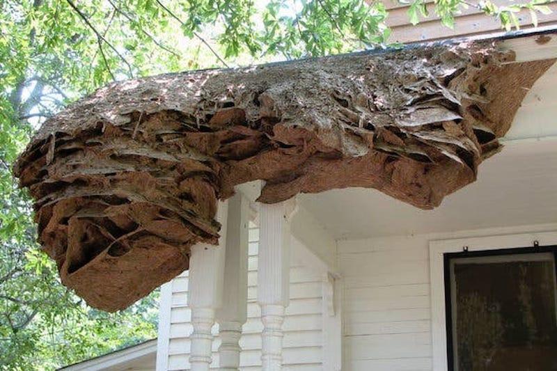 Illustration for article titled Alabama alerta a sus ciudadanos tras la aparición de gigantescos nidos de avispa en los vecindarios