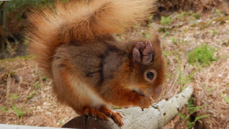 A British red squirrel with leprosy on its ear. (Image: © Dorset Wildlife Trust)