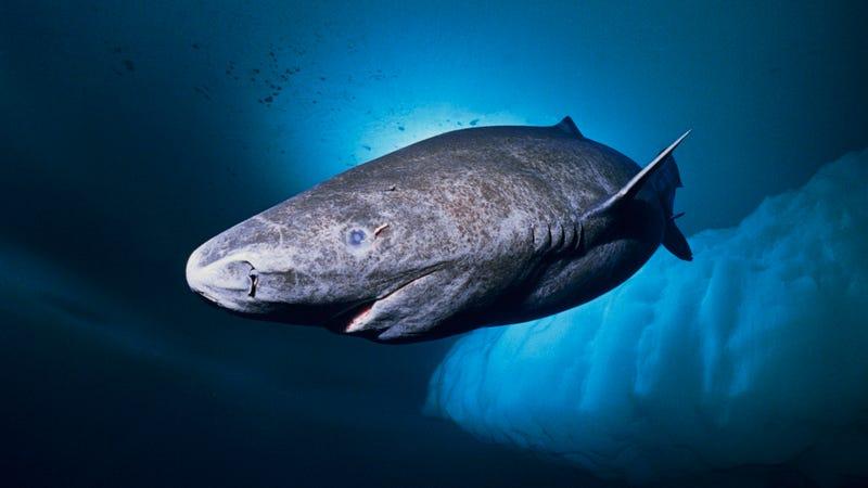 Somniosus microcephalus, el tiburón de Groenlandia. Imagen: NOAA