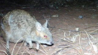 """Illustration for article titled Camera-Traps Detect """"Extinct"""" Wallabies In Western Australia"""