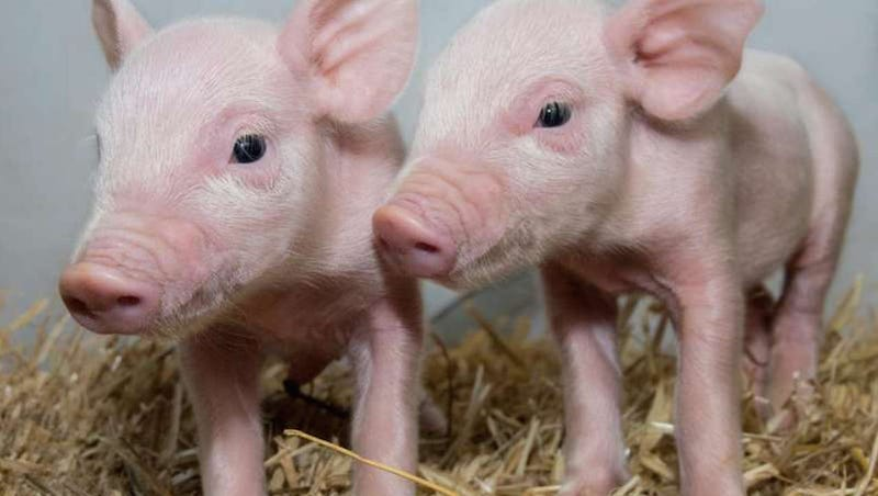 These piglets could be protected from an infection that costs the swine industry billions each year.  Image: Laura Dow, The Roslin Institute