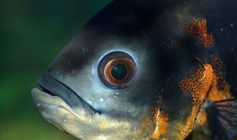Descubren un parásito en el ojo de los peces que controla su comportamiento y los guía hasta la muerte