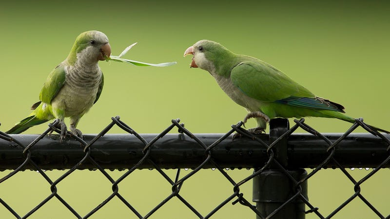 Feral Parrots Are Taking Over America