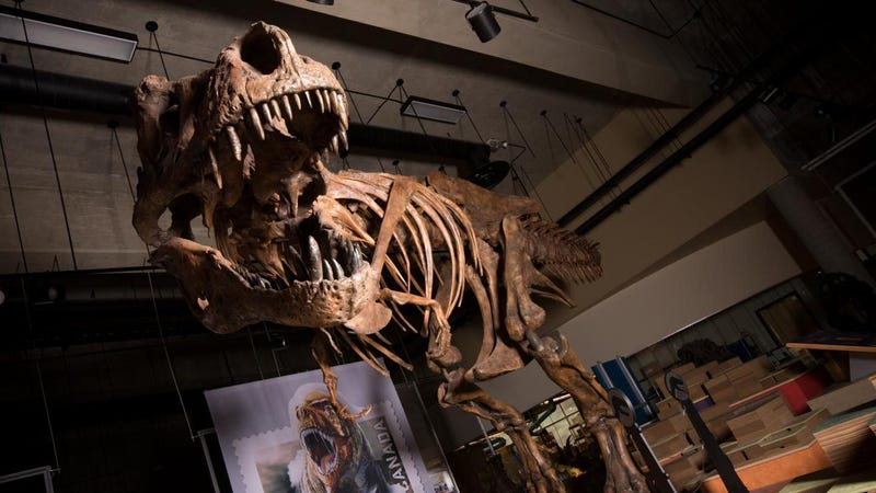 The Scotty T. rex on display.