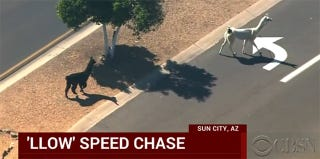 Illustration for article titled Llamas On The Lloose: Arizona Unable To Secure Rogue Beasts On The Run
